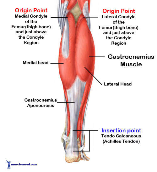 Gastrocnemius-Muscle